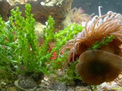 Caulerpa Recemosa Alga verde originaria del MarRosso